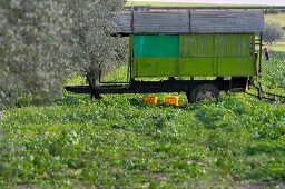 A shack on a vehicle trailer in an olive grove (Tunisia)
