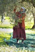 A woman shaking olives from the tree