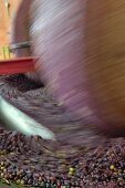 Olives being crushed by millstones