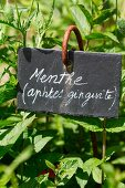 Fresh mint in the garden with sign (natural remedy for ulcers and gingivitis)