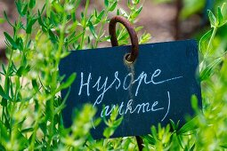 Fresh hyssop in the garden with sign (natural remedy for asthma)