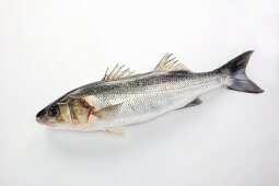 Temperate bass on a white surface