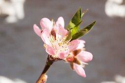 Pink peach blossom