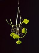 Purslane leaves and an Asian draining spoon against a black background