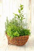 Assorted herb plants in a wicker basket