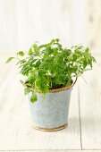 Gynostemma pentaphyllum, jiaogulan (medicinal plant from Asia)