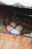 Freshly Laid Farm Eggs in a Coop