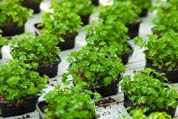 Coriander plants in plastic pots