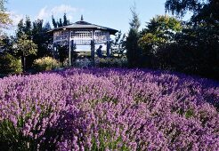 Flowering field of lavender and a summer house at an English country house