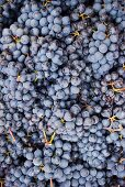 Bunches of Nebbiolo Grapes