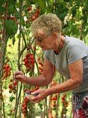 Elderley female picking tomatoes in domestic greenhouse