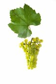 Chardonnay grapes with a vine leaf