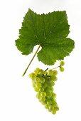 Sauvignon blanc grapes with a vine leaf