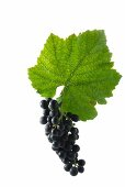 St. Laurent grapes with a vine leaf