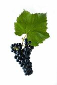 Diolinoir grapes with a vine leaf