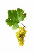 Doral grapes with a vine leaf