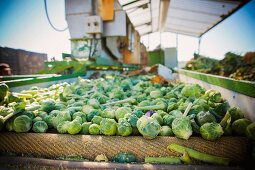 Freshly harvested Brussels sprouts on a conveyor belt