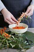 Sea-buckthorn berries being de-stemmed