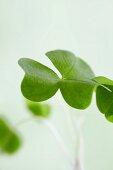 Common wood sorrel (close)