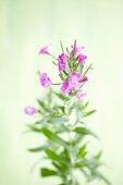 Great hairy willowherb (Epilobium hirsutum)