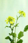 Flowering field mustard (sinapis arvensis)