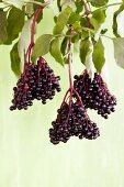Bunches of ripe elderberries