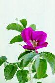 A purple wild rose