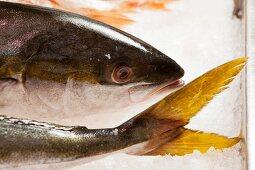 A yellowtail fish on ice
