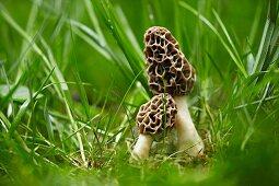 Morel mushrooms growing in grass