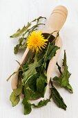 Whole, dried dandelion leaves in a wooden scoop for making dandelion tea
