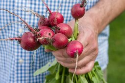 A man holding a bunch of freshly harvested radishes