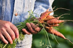 A man in a garden holding freshly harvested carrots