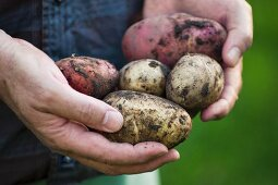 A man in a garden holding freshly harvested potatoes (red and yellow)