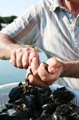 A fisherman opening a mussel