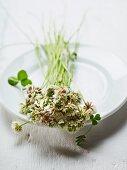 Flowering white clover