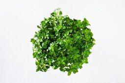 Frisches Mini-Basilikum im Blumentopf