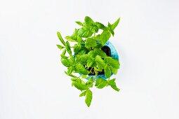 Frische Minze im Blumentopf