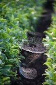 Spider webs between tea plants, Japan