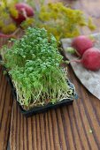 A tray of cress with radishes
