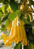 A Buddha's hand lemon on a tree