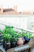 Frische Kräuter in Einmachgläsern auf Pflanztisch auf Dachterrasse