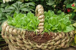 A roughly woven basket outside filled with reddish seedlings