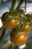Kumato tomatoes hanging on a vine