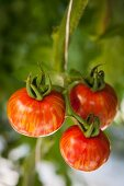 Red tiger tomatoes hanging on a vine