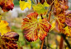 Colourful leaves on a vine