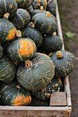 Green Hokkaido pumpkins