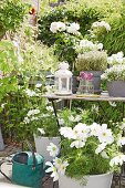 weiße Cosmea und Kräuter auf Gartentisch