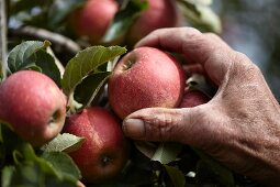Apples being harvested