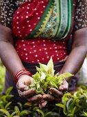 Woman holding fresh tea leaves (Sri Lanka)