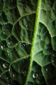 Kale with water droplets (close up)